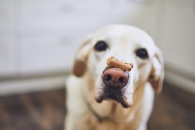 鼻の上にクッキーを乗せた犬