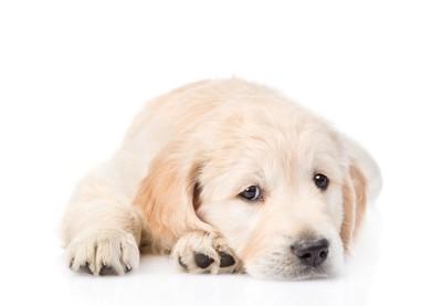 ゴールデンの子犬、白い背景
