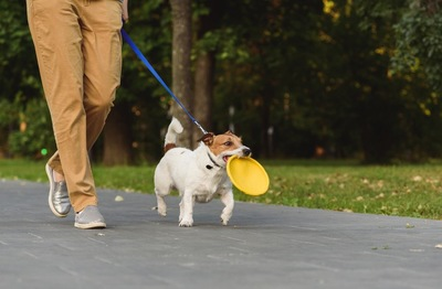 フリスビーをくわえながら散歩をするジャック・ラッセル・テリア