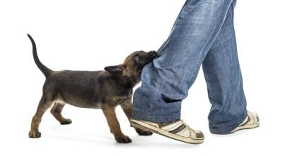 飼い主のズボンの裾に噛み付いている子犬