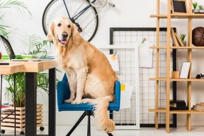 青い椅子に乗る犬