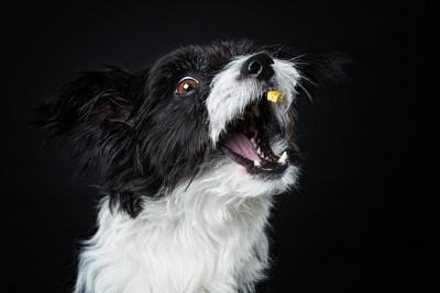 オヤツをキャッチしようとしている犬