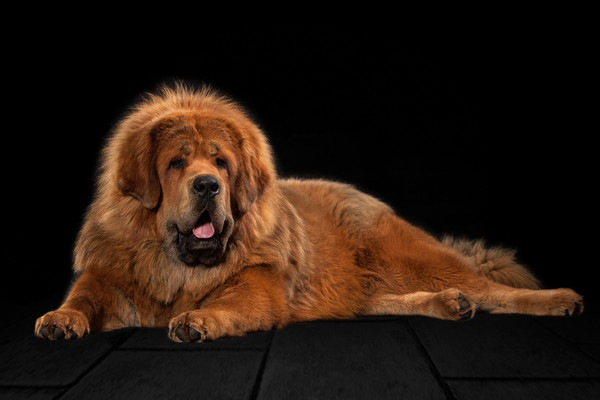 Tibetan Mastiff背景黒い