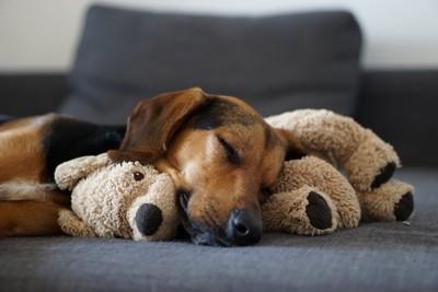 ぬいぐるみを枕にして寝ている犬
