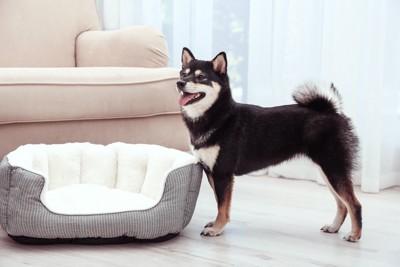 部屋に置かれた犬用ベッドの前に立つ柴犬