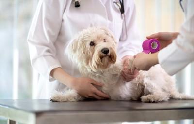 獣医さんの手当てを受ける白い犬