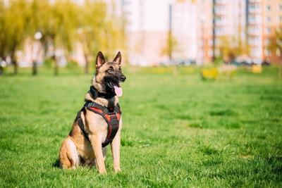 芝生に座り、指示を待つ犬