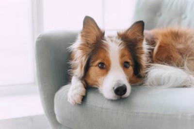 ソファーの上で耳を立てる犬