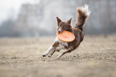 ディスクを咥えて走る犬