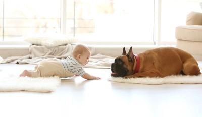 フローリングで向かい合う赤ちゃんと犬