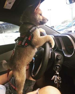 運転席で立っている赤いベストを着た子犬