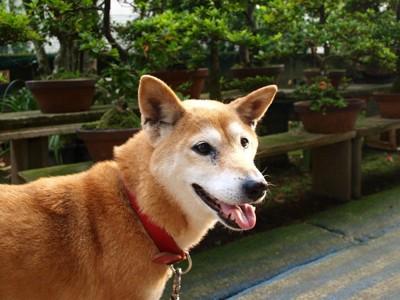 柴犬の老犬