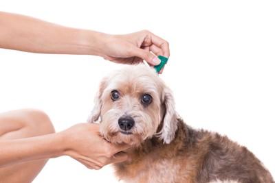 ノミの駆虫薬をつけられている犬