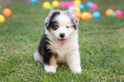 Aシェパードの子犬、背後にカラフルなボール