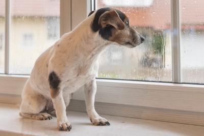 雨の日に窓から外を眺める犬
