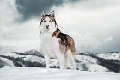 雪の中に立つハスキー