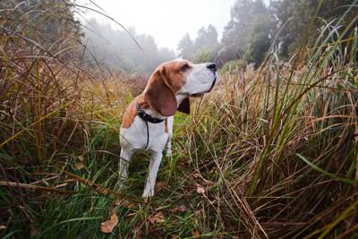 散歩中にあたりの匂いを嗅ぐビーグル犬