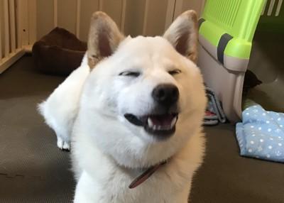 笑顔の白柴