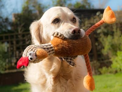 おもちゃをくわえる犬