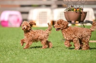 芝生の上で一緒に遊ぶ2匹のトイ・プードル