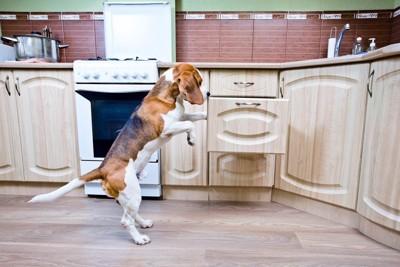 キッチンの引き出しを覗くビーグル