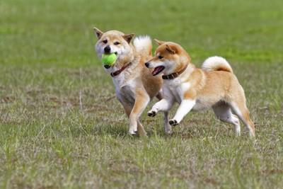 ボールで遊ぶ二頭の柴犬