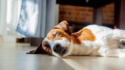 フローリングで寝転がる犬