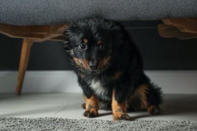 怯えて家具の下に隠れる子犬