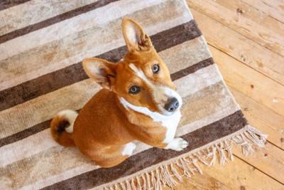 床の敷物と見上げるバセンジー