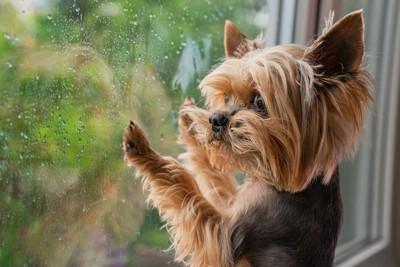 濡れた窓、外を眺めるヨーキー