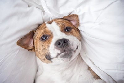 仰向けで見つめる犬の顔のアップ
