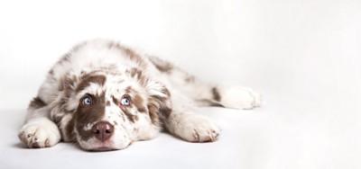 床に伏せて横目で見つめる犬
