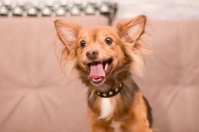 口を開けた好奇心旺盛な犬