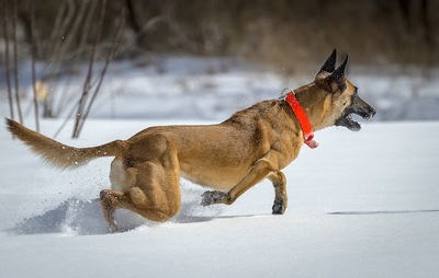 雪の中を走り出すシェパード