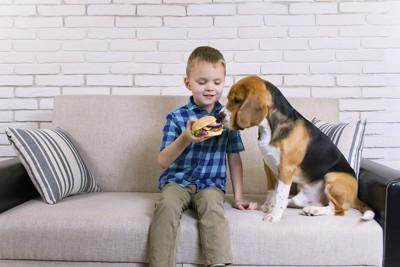 ソファーでハンバーガーを持つ男の子と欲しがるビーグル犬