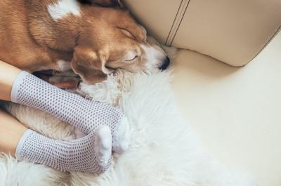 靴下を履いた飼い主の足のそばで眠るビーグル犬