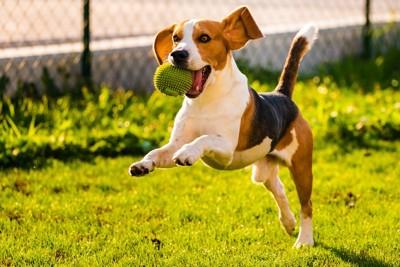 ボールをくわえて走るビーグル犬