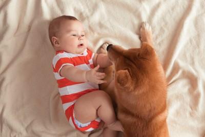 手を伸ばす赤ちゃんに寄り添う柴犬