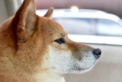 真剣な表情の柴犬の横顔アップ