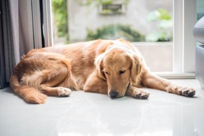 窓辺で寝る犬