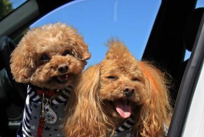 車に乗っている2匹の犬