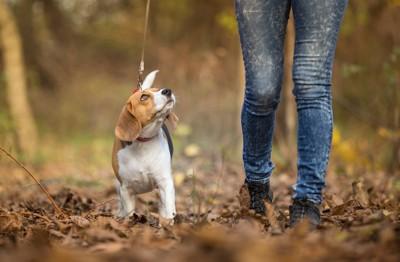 飼い主を見ながら枯れ葉の上を歩くビーグル