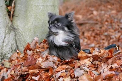 落葉の上で遊ぶブルーのチワワ