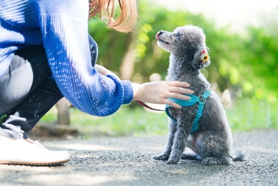 飼い主と見つめ合う青いハーネスのトイプードル