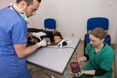 ドナー犬から採血する医師