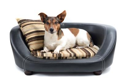 黒い犬用ソファーに入るジャックラッセルテリア
