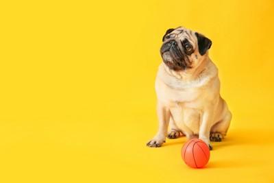 ボールとお座りするパグ