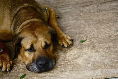 元気なく床に伏せる犬