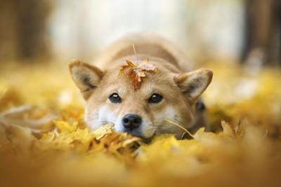 落ち葉の上でフセをしている柴犬