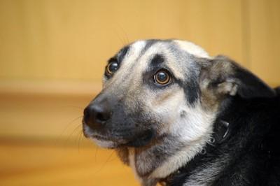 耳を後ろに折って警戒している犬